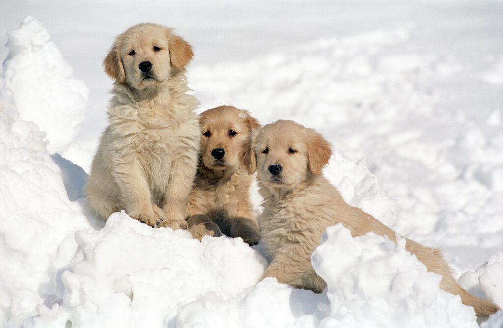 3 כלבים יושבים בשלג