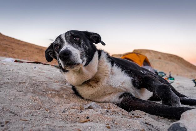 כלב מבוגר שוכב בחול