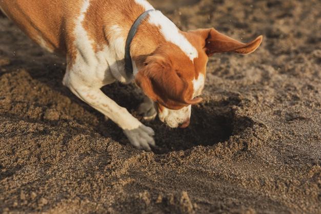 כלב חופר בור
