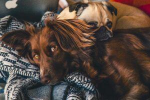 למה לצפות לאחר סירוס כלבך או עיקור כלבתך