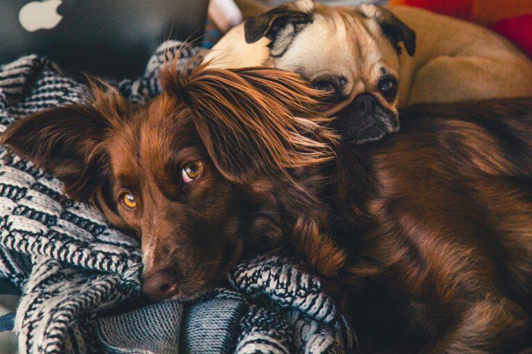 כלב נח לאחר סירוס עיקור